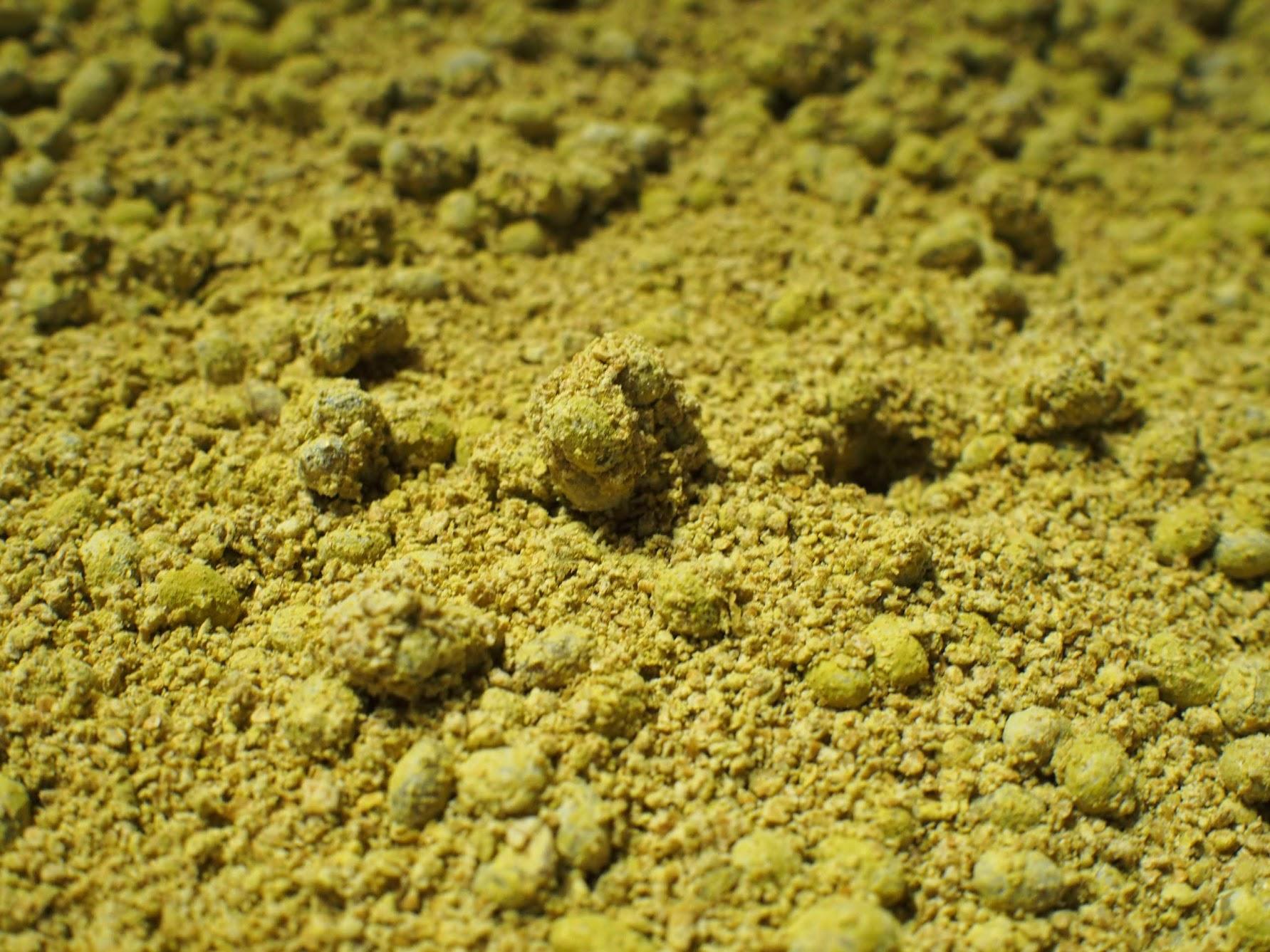 黄色く色づいた麹菌